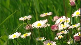 358138891-margheritina-prato-di-fiori-fiore